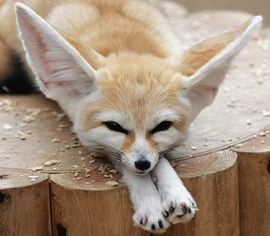 File:Fennec Fox.jpg